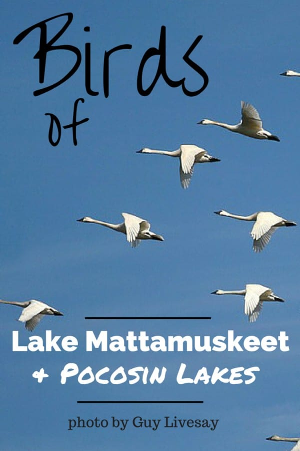 Birds of Pocosin Lake and Lake Mattumrskeet | http://chloesblog.bigmill.com/birds-of-lake-mattamuskeet-and-pocossin-lakes/