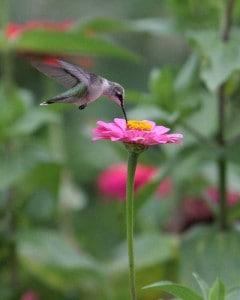 Hummingbird visits the garden at Big Mill Inn near Greenville | chloesblog.com