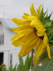Sunflowers at Big Mill, a farm bed and breakfast in eastern North Carolina