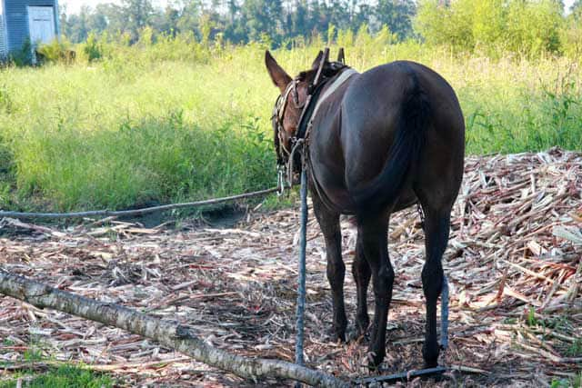 Mules - Lucy on the farm in eastern NC