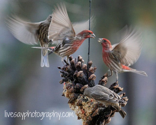 Suet recipe lures chipping sparrow to Big Mil B&B, a bird-friendly bed and breakfast near Greenville, NC